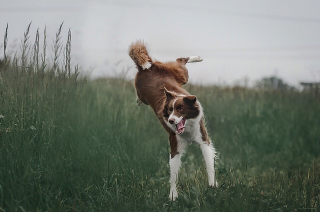 Border Collie, Dog, Jump, Summer, Nature
