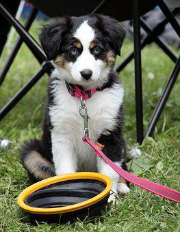 Dog, Border Collie, Little Dog, Puppy