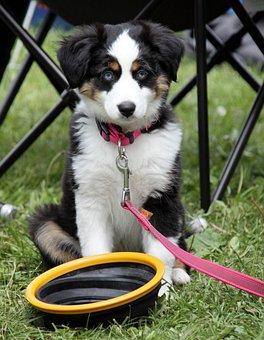 Dog, Border Collie, Little Dog, Puppy