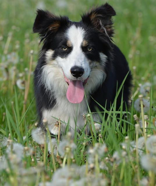 Flower Meadow, Border Collie, British Sheepdog, Dog