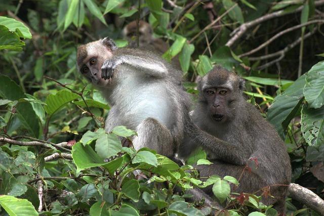 Borneo, Asia, Monkeys, Sarawak, Kuching, Jungle