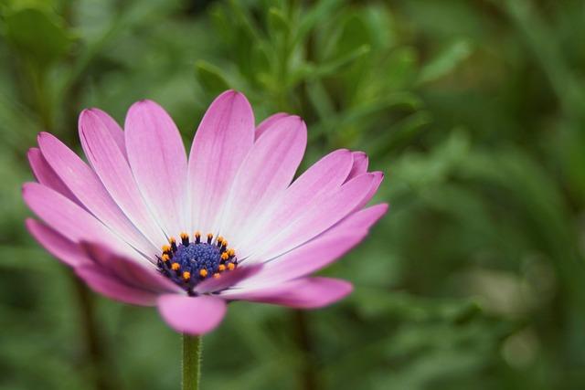 Bornholm Marguerite, Osteospermum Ecklonis, Blossom