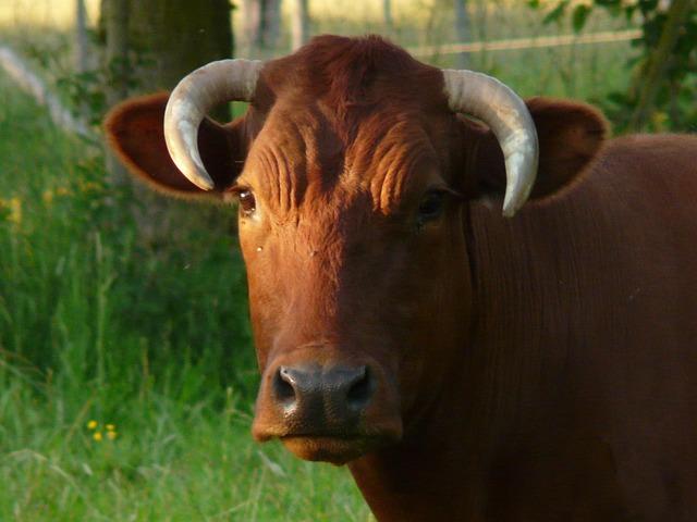 Cow, Domestic Cattle, Beef, Bos Primigenius Taurus