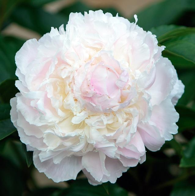Begonia, Flower, Close-up, Bloom, Blooming, Botanic
