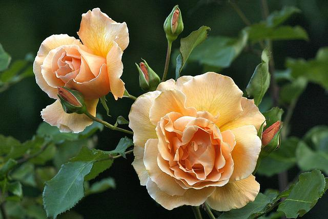 Rose, Just Joey, Botanic Gardens, Christchurch