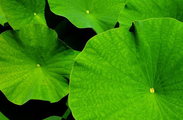 Giant Leaf, Lotus, Lotus Leaf, Botanical Garden, Leaves