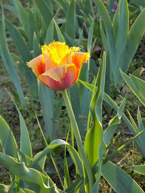 Tulip, Botanical Garden, Flower, Spring, Beautiful