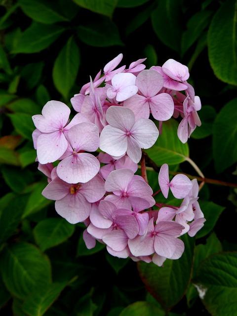Hydrangea, Flower, Pink, Blossom, Botanical