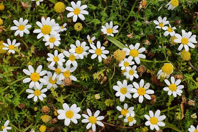 Chamomile, Flower, Spring, Nature, Herb, Botany