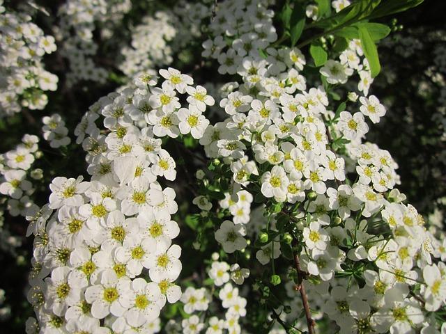Spiraea, Shrub, Blooming, Spring, Flora, Botany, Plant