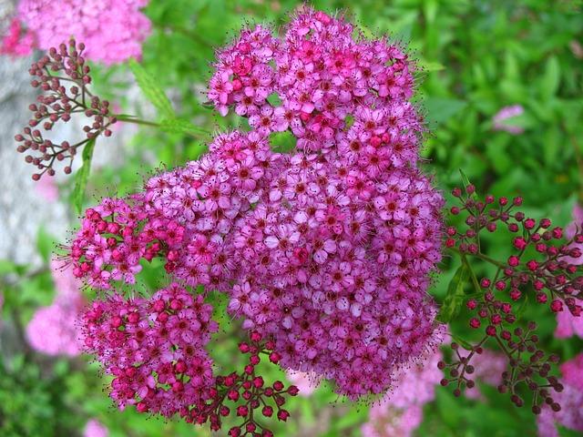 Flower, Pink, Spiraea, Garden, Summer, Vibrant, Botany