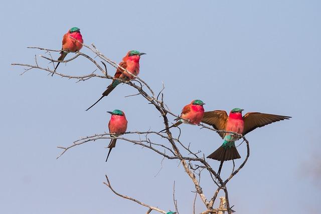 Bird, Crimson, Crimson Bee-eater, Botswana, Blue Birds