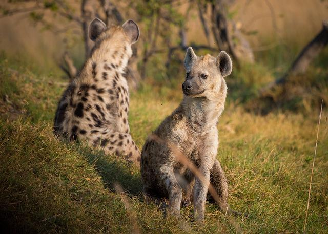 Hyena, Africa, Botswana, Animal, Wildlife, Safari