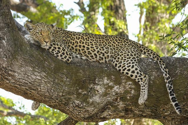 Leopard, Wildcat, Big Cat, Safari, Botswana, Africa