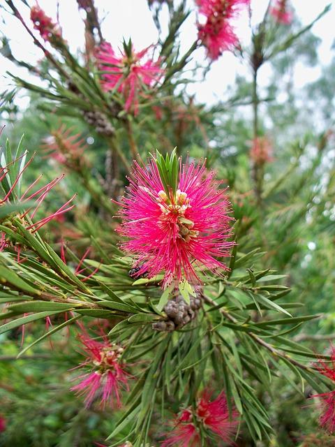 Bottlebrush, Bush, Pink, Feathery, Flower, Shrub