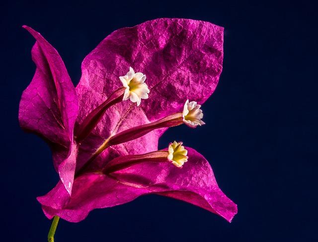 Bougainvillea, Blossom, Bloom, Flower, Pink