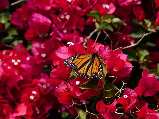 Bougainvillea, Colorful, Butterfly, Monarch Butterfly