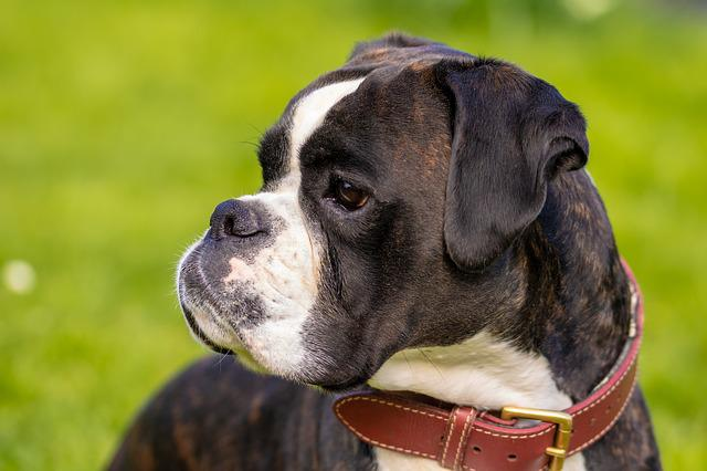 Dog, Boxer, Pet, Animal, Dog Look, Boxer Dog, Portrait
