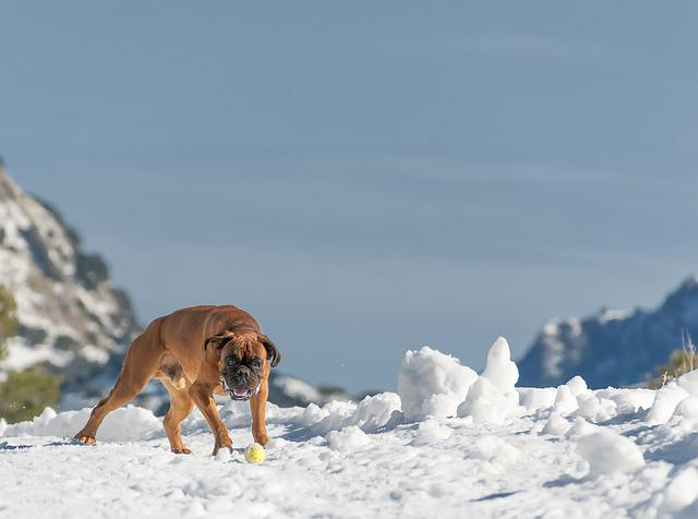 Dog, Mallorca, Snow, Mountain, Boxer, Landscape