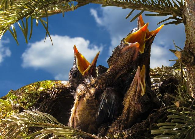 Bird, Blackbird, Nest, Hatching, Boy, Hunger, Feed