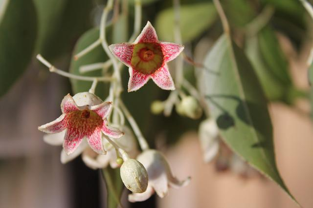 Brachychiton Populneus, Bottle Tree, Bell Flowers