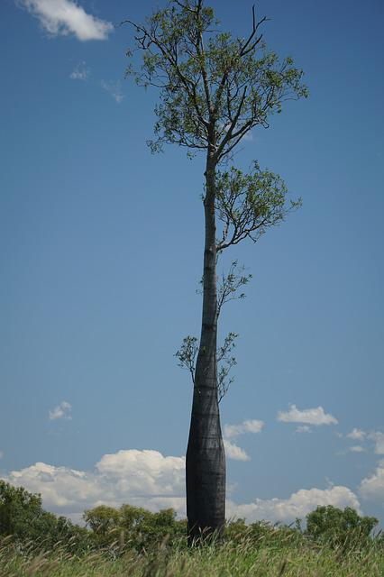 Bottle Tree, Brachychiton Rupestris, Queensland
