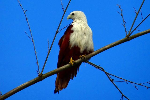 Brahminy, Kite, Haliastur Indus, Fauna, Bird Of Prey