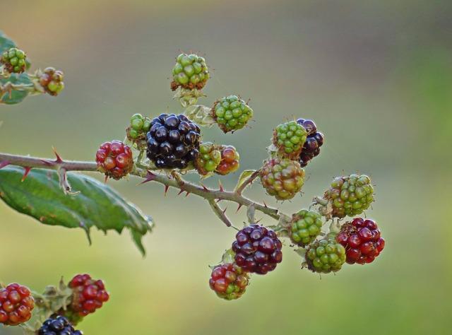 Blackberries, Berries, Fruits, Bramble, Fruit, Prickly