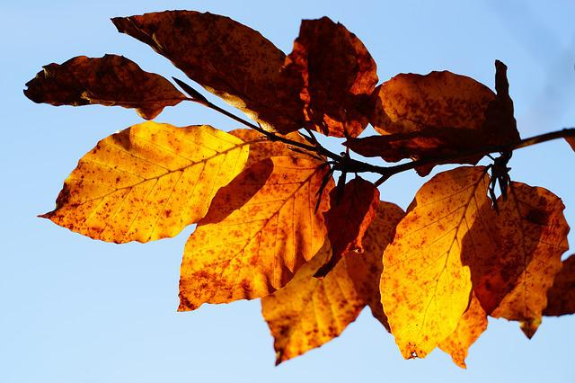 Beech Leaves, Branch, Beech, Tree, Autumn, Fall Foliage