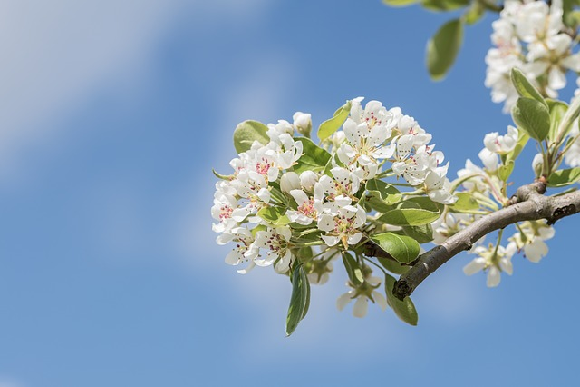 Blossom, Plant, Nature, Branch, Peer, Season, Spring