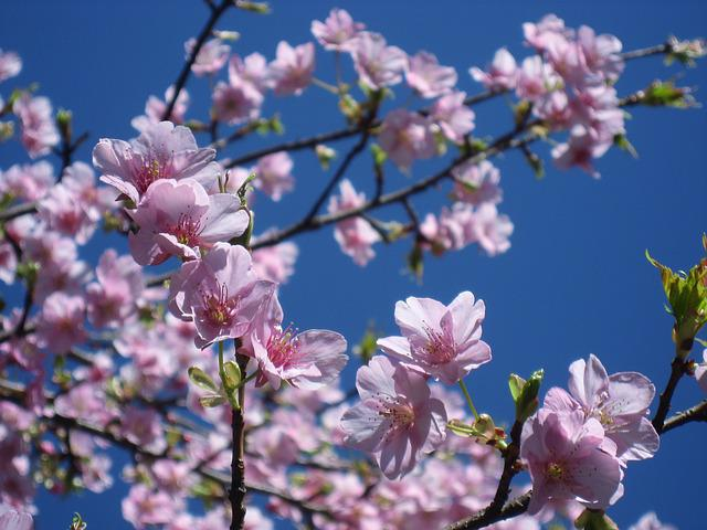 Cherry Blossoms, Flowers, Pink, Branch, Leaf, Blue Sky