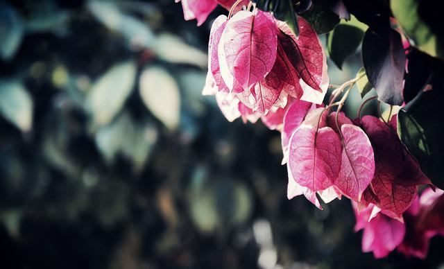 Beautiful, Bougainvilleas, Branch, Bright, Close-up