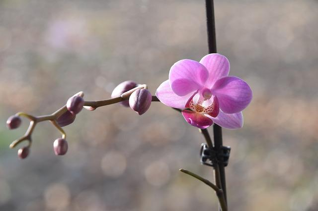 Flower, Nature, Plant, Branch, Bud, Orchid