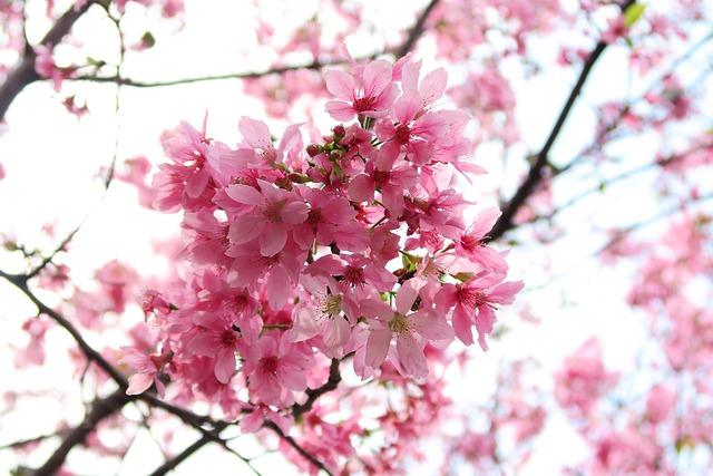 Cherry Wood, Flower, Branch, Tree, Plant