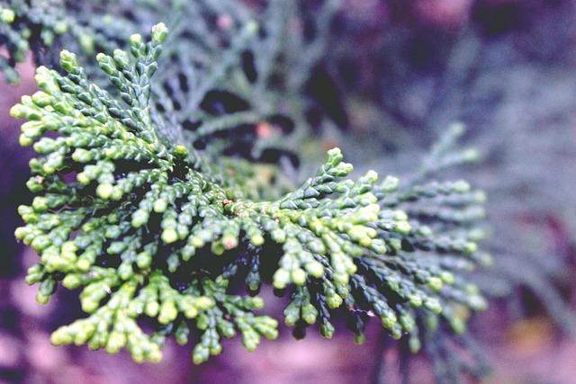 Cypress, Branch, Cypress Branch, Cypress Under Glass