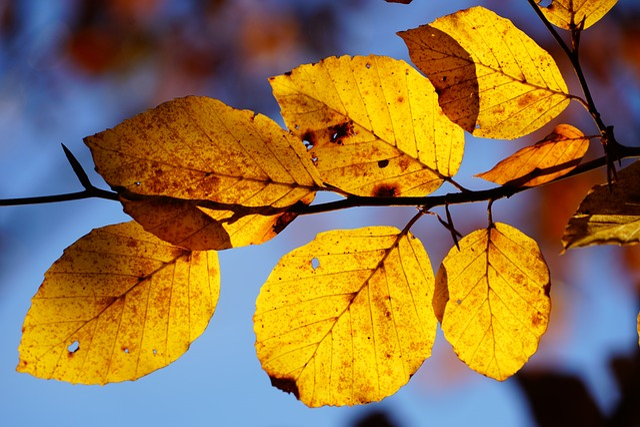 Beech Leaves, Branch, Beech, Tree, Autumn, Fall Foliage