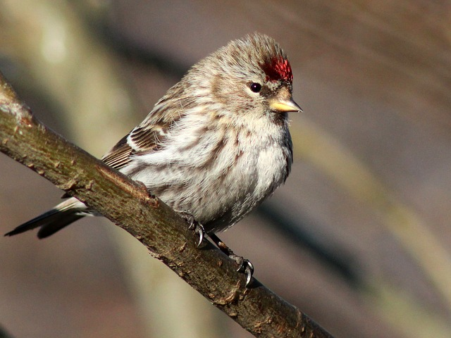 Redpoll, Finch, Bird, Wildlife, Nature, Branch, Small