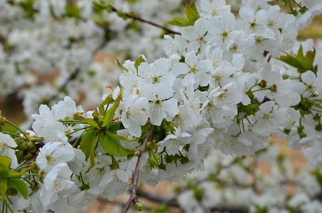 Cherry, Flower, Branch, Nature, Spring