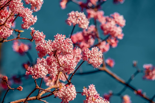 Viburnum, Fragrant Snowball, Bush, Branch, Flowers