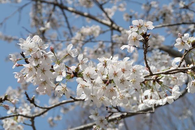 Cherry, Wood, Branch, Flowers, Seasonal, Plant, Natural