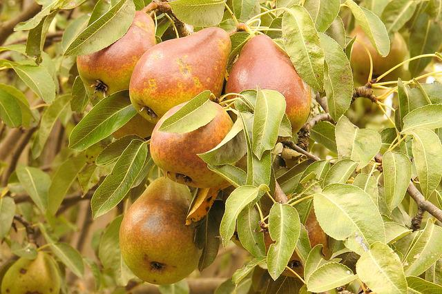 Pears, Pear, Branch, Browned, Fruit Tree, Fruits