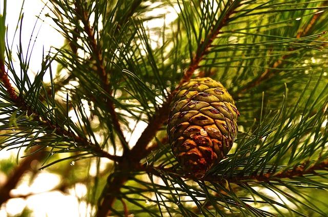 Tree, Needle, Periwinkle, Conifer, Branch, Croatia