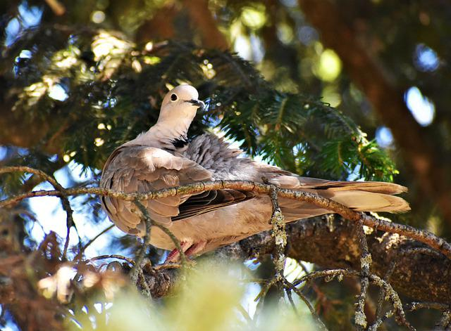 Dove, Pigeon, Bird, Ali, Feathers, Beak, Pine, Branch