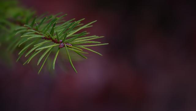 Branch, Conifer Show, Pine Branch, Spruce, Plant