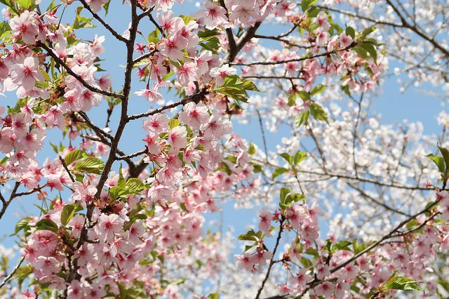Cherry Blossoms, Wood, Flowers, Branch, Plant, Spring
