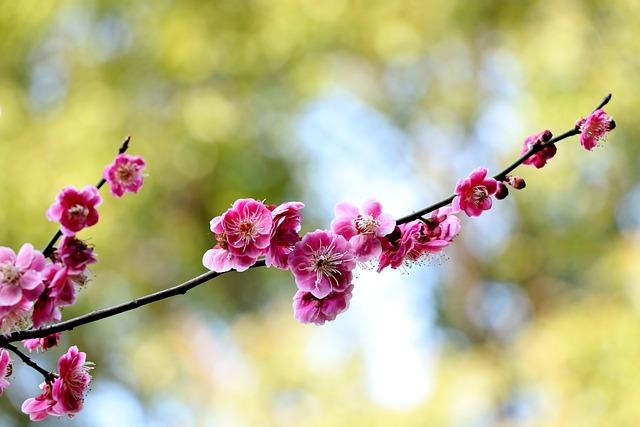 Flower, Nature, Plant, Branch, Tree, Plum Blossom
