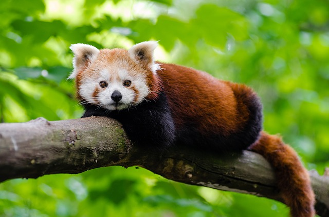 Animal, Branch, Cute, Red Panda, Wildlife
