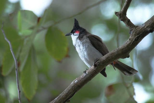 Bird, Bulbuls, Sperling, Songbird, Branch, Leaves