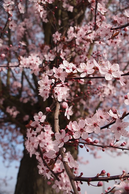Cherry Blossom, Spring, Flowers, Tree, Blooming, Branch