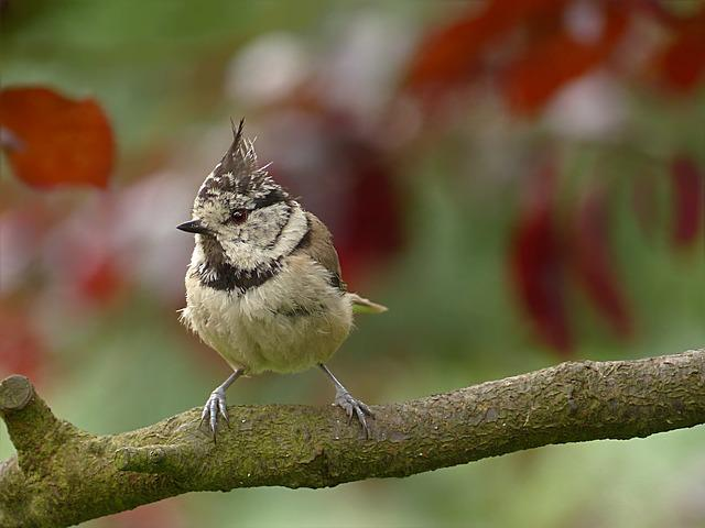 Bird, Tit, Crested Tit, Lubatumtit, Young, Branch